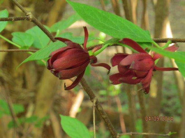 Eastern Sweetshrub