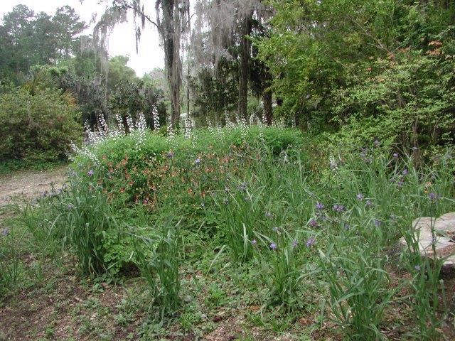 Wild Indigo, Columbine and Spiderwort