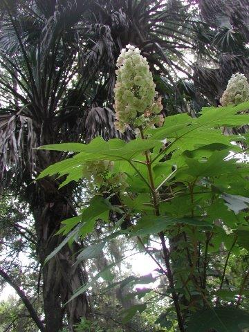 Oakleaf Hydrangea