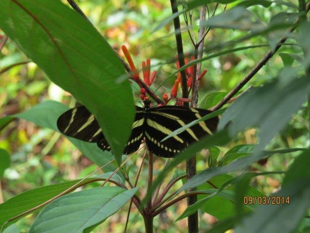 Zebra Longwing on Firebush