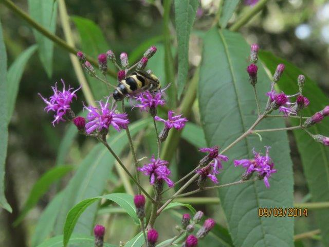Bee on Giant Ironweed
