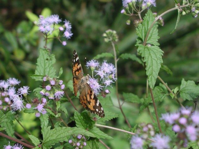 Blue Mistflower with Painted Lady