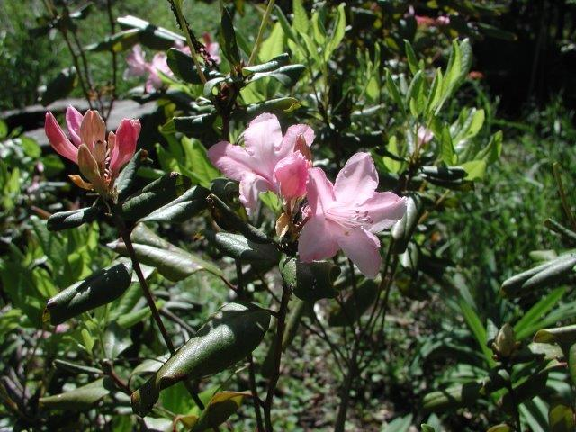 Chapman's Rhododendron, Rhododendron chapmanii