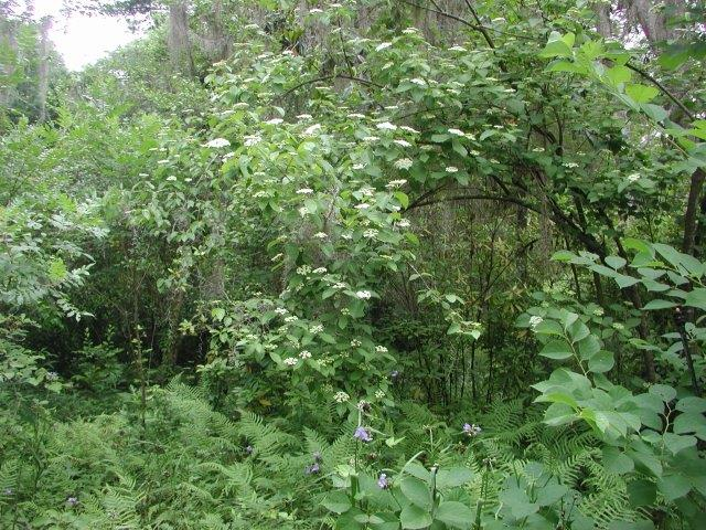 Arrowwood Viburnum