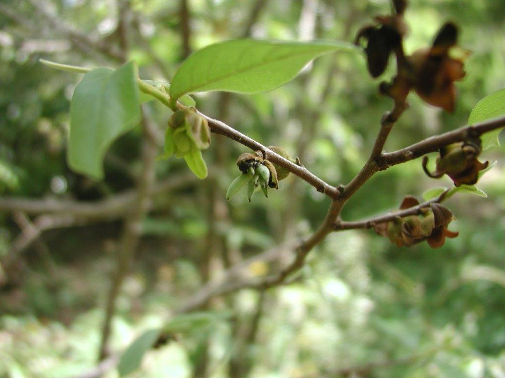 Small-flowered Pawpaw young fruit