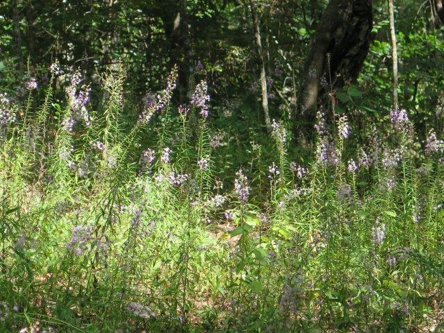 Liatris gholsonii covering ravine trail
